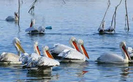 """Λίμνη Κάρλα: Το νέο """"σπίτι"""" των ροδοπελεκάνων"""