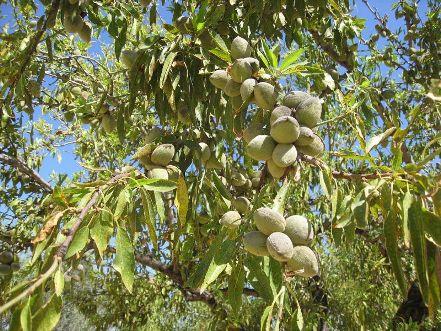 Ασθένεια στην καλλιέργεια της αμυγδαλιάς στην περιοχή Καναλίων και Κερασιάς και ειδικότερα στην ποικιλία Φερρανιά
