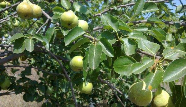 Μειωμένη παραγωγή οπωροφόρων δέντρων