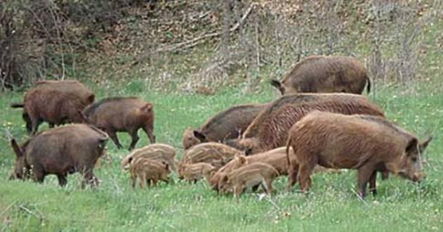Απόφαση Δήμου Ρήγα Φεραίου σχετικά με ζημίες καλλιεργειών από επιθέσεις αγριογούρουνων