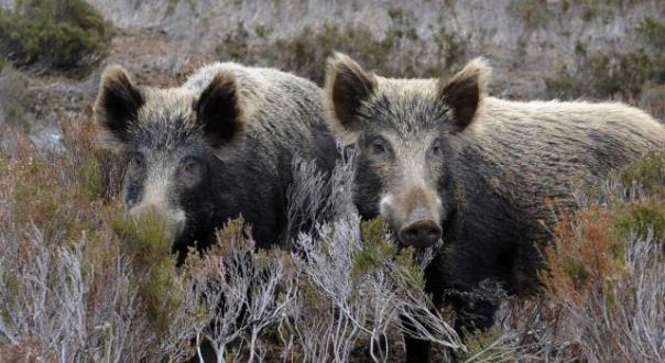 Απόφαση Δήμου Ρήγα Φεραίου σχετικά με ζημιές καλλιεργειών από επιθέσεις αγριογούρουνων