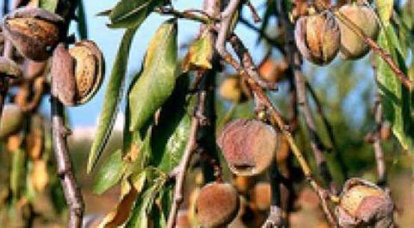 Ζητείται η ένταξή τους στο πρόγραμμα De minimis, αποζημίωση των αμυγδαλοπαραγωγών  του Δήμου Ρήγα Φεραίου